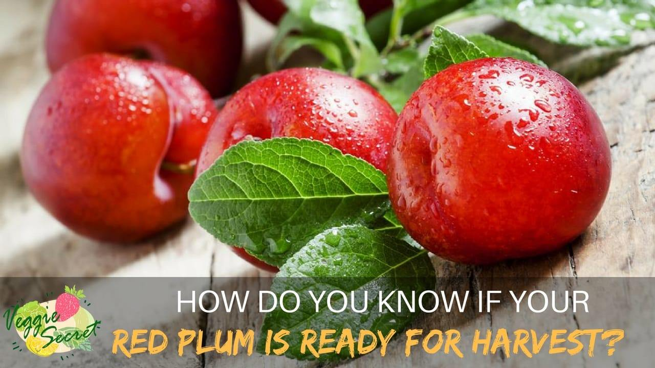 How Do You Know If Your Red Plum is Ready For Harvest?