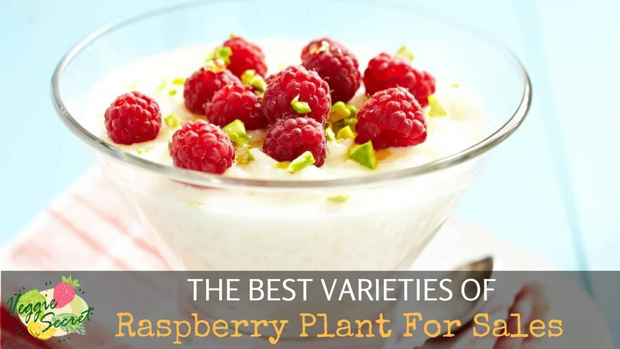 The Best Varieties of Raspberry Plants For Sale